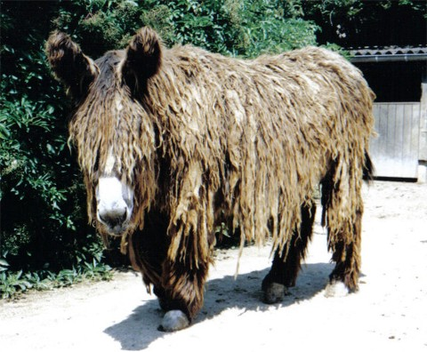 Poitou Donkey
