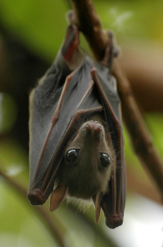 Aspiring Dracula Bat