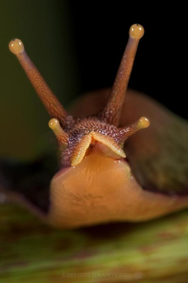 Cute African Snail