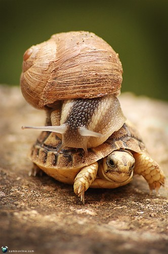Turtle-surfing Snail