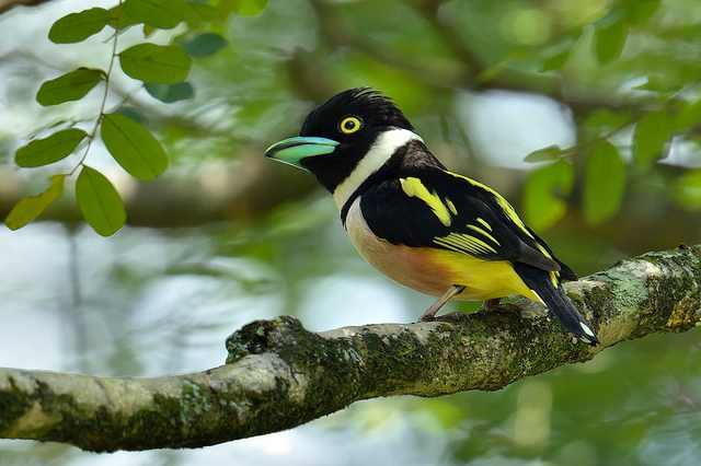 Black and yellow Broadbill Eurylaimus ochromalus