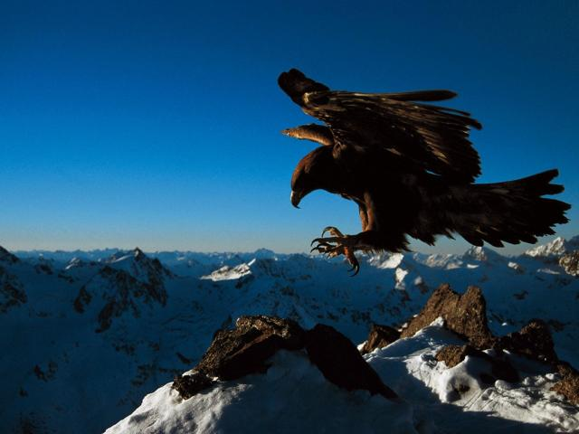 Majestic Golden Eagle