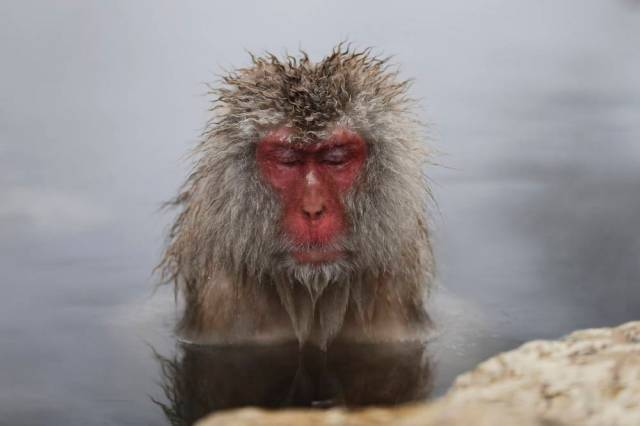 A Japanese Macaque (or Snow Monkey) soaks in a hot spring at a snow-covered valley in Yamanouchi town, central Japan.    REUTERS/Issei Kato  (JAPAN - Tags: ANIMALS SOCIETY TRAVEL)