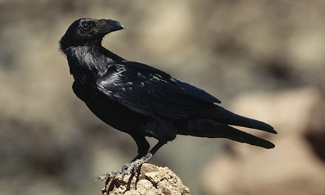 Beautiful Common Raven