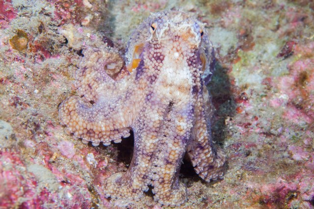 Octopus pretending to be a stone