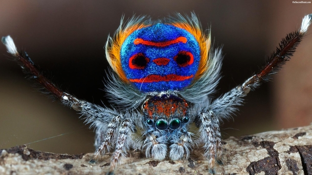 Peacock Spider at its morning Yoga session