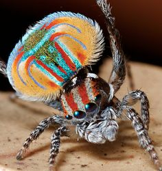 Peacock Spider doing gymnastics