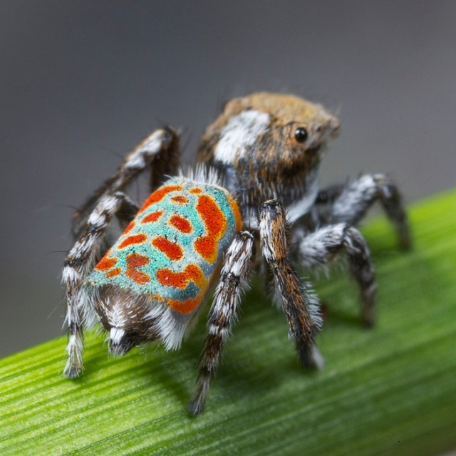 Cute Peacock Spider